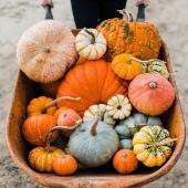 [🍂 C'EST DE SAISON!]  Voilà les premiers cucurbitacées qui arrivent sur nos étals! A nous les courges musquée, les courges spaghettis, citrouilles et autres butternuts! 🎃🍴  Vive l'Automne! 🍁🍂  #citrouille #pumpkin #autumnstroll #automne #courge #autumn #legumesaison #foodporn #lovefood #ideecuisine